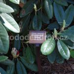 Rododendron Aurora