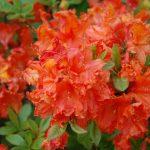 Rododendron Bakkarat