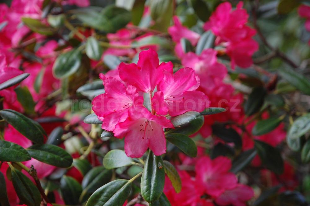 Rododendron Bambola