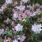 Rododendron Barecanelia