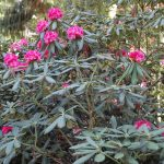 Rododendron Barmstedt
