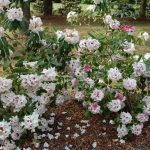 Rododendron Baroness Henry Schroeder