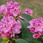 Rododendron Bečov