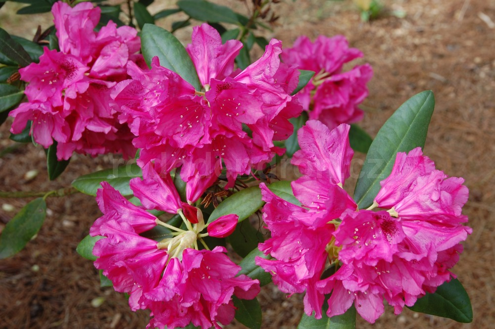Rododendron Beauty of Surrey