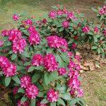 Rododendron Beladona