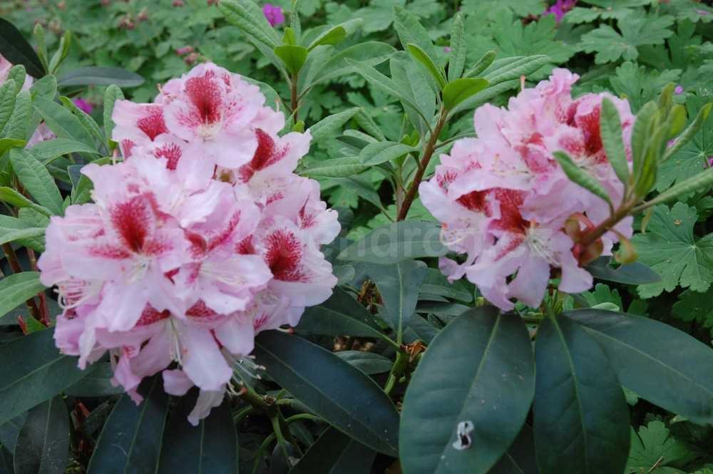 Rododendron Belami
