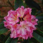 Rododendron Bella Apricosa