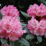 Rododendron Belona