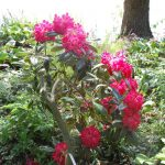 Rododendron Berliner Liebe