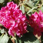 Rododendron Besse Howells