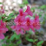 Rododendron Betty