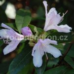 Rododendron Bezděz