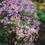 Rododendron Blanice