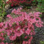 Rododendron Blauws Pink