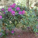 Rododendron Blue Bell