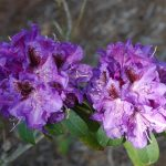 Rododendron Blue Boy