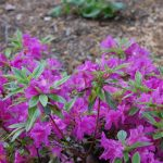 Rododendron Blue Danube