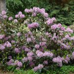 Rododendron Blue Ensign