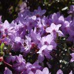 Rododendron Blue Wonder