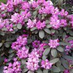 Rododendron Blurettia