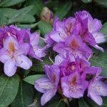 Rododendron Blutopia
