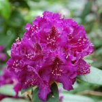 Rododendron Bohumil Kavka