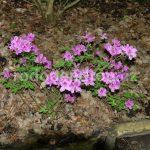 Rododendron Božena Němcová