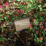 Rododendron Boubín