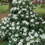 Rododendron Boule de Neige