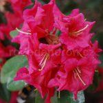 Rododendron Bremen