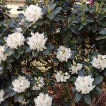 Rododendron Breslau