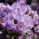 Rododendron Buchlovice
