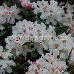 Rododendron Caliope