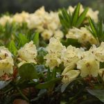Rododendron Canary