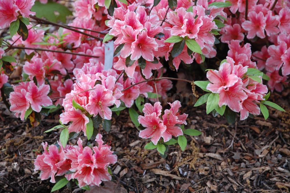 Rododendron Carolina