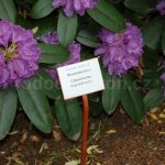 Rododendron Catawbiense