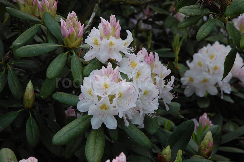 Rododendron Catawbiense Album