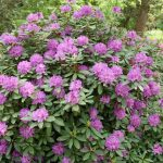 Rododendron Catawbiense Boursault