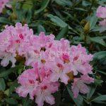 Rododendron Caucasium Pictum