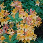 Rododendron Christopher Whren