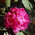 Rododendron Cla