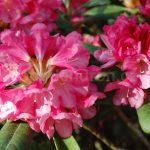 Rododendron Clivia