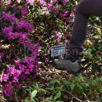 Rododendron Conncinum