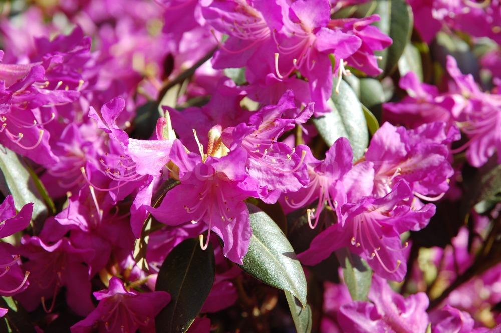 RododendRododendron Conncinumron Clivia