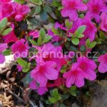 Rododendron Conny