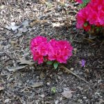 Rododendron Conzonetta