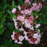Rododendron Corneille