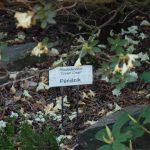 Rododendron Cream Crest