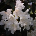 Rododendron Cunnighams White