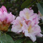 Rododendron Dagmar